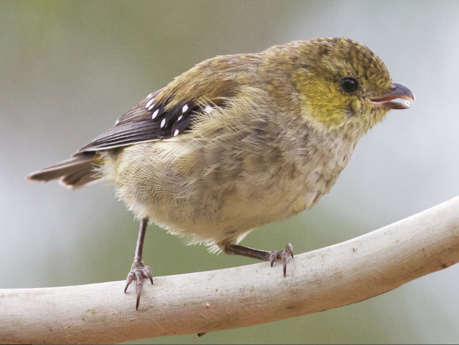 Forty-spotted Pardalote - Saved by science