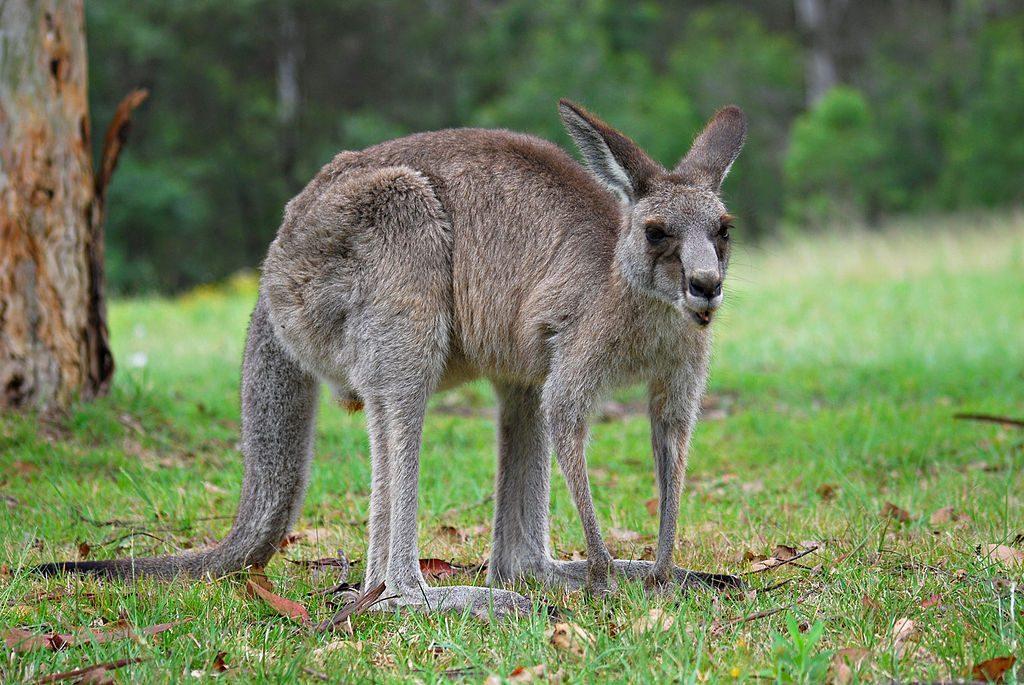 Australian Kangaroo - Top speed